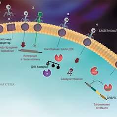 Бактерии пользуются сотовой сетью рецепторов