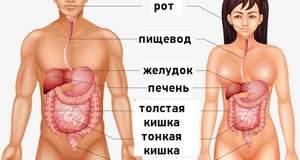 Отличия системы пищеварения у женщин и мужчин